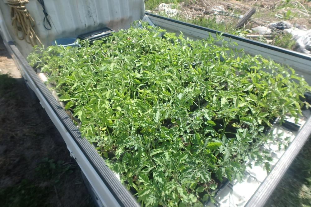 夏野菜の定植、はじまりまりました!